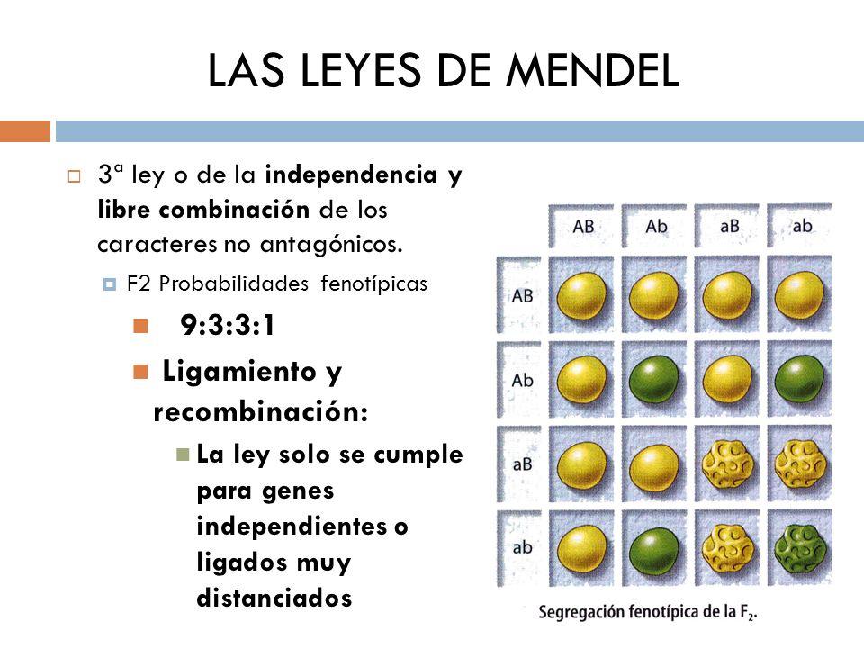 LAS LEYES DE MENDEL 3ª ley o de la independencia y libre combinación de los caracteres no antagónicos. F2 Probabilidades fenotípicas 9:3:3:1 Ligamient