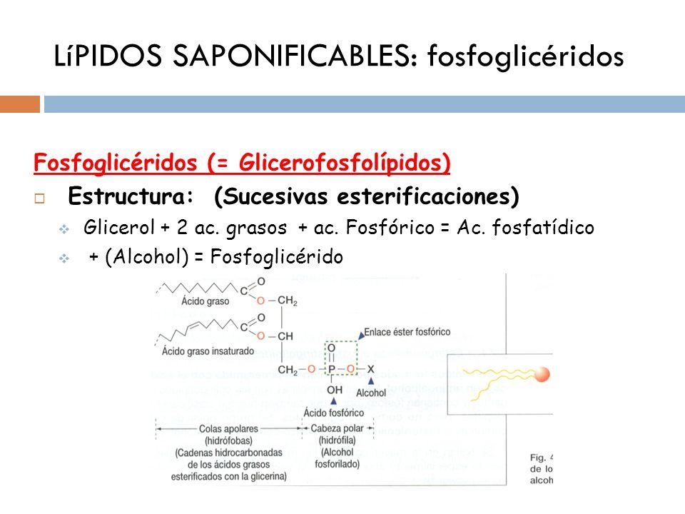 LíPIDOS SAPONIFICABLES: fosfoglicéridos Fosfoglicéridos (= Glicerofosfolípidos) Estructura: (Sucesivas esterificaciones) Glicerol + 2 ac. grasos + ac.