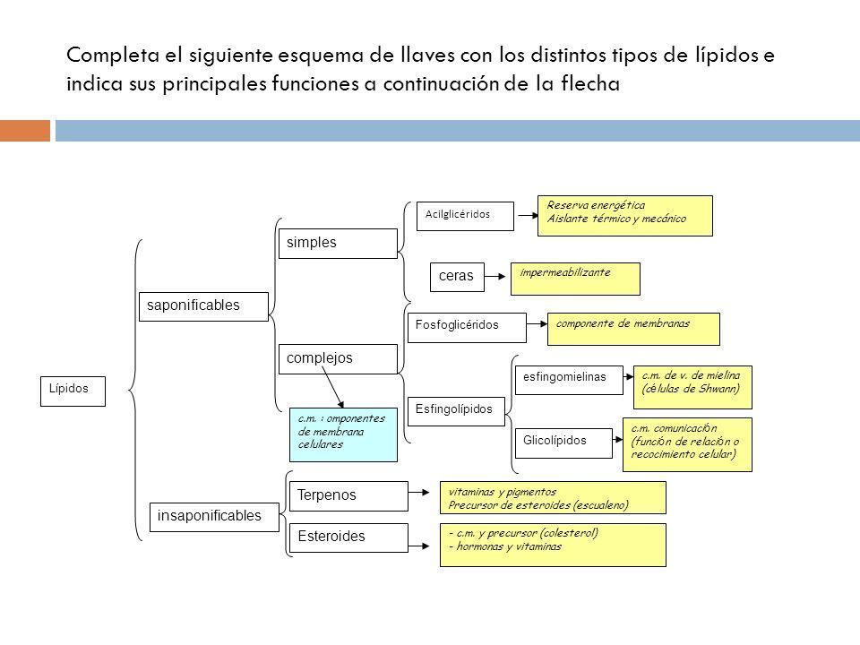Completa el siguiente esquema de llaves con los distintos tipos de lípidos e indica sus principales funciones a continuación de la flecha Lípidos sapo