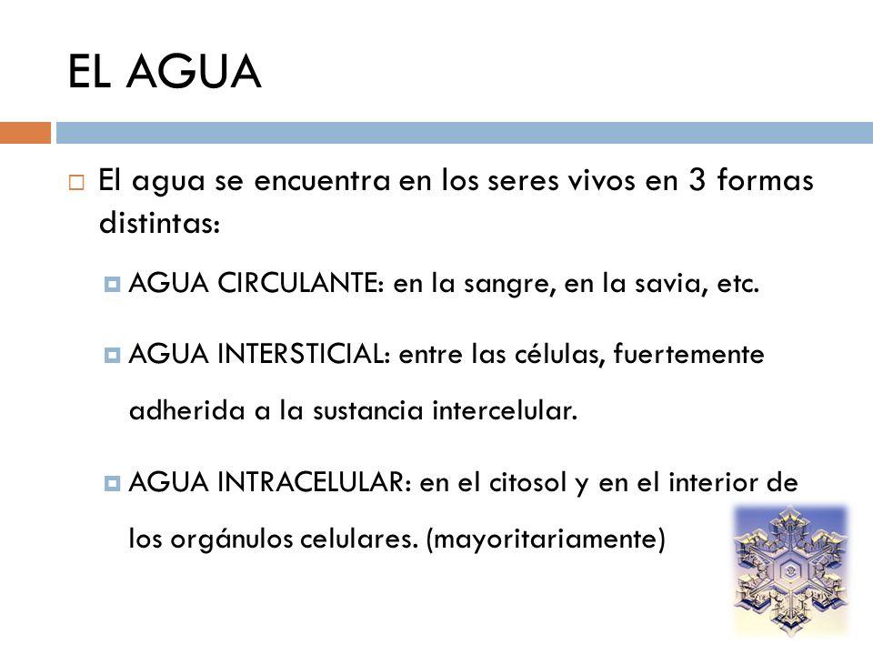 EL AGUA El agua se encuentra en los seres vivos en 3 formas distintas: AGUA CIRCULANTE: en la sangre, en la savia, etc. AGUA INTERSTICIAL: entre las c