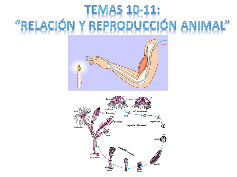 II EXCITACIÓN *Apertura canales Na+ Despolarización membrana (interior +) Potencial de acción +40mV Apertura canales Na+ contiguos.