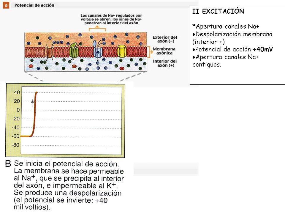 II EXCITACIÓN *Apertura canales Na+ Despolarización membrana (interior +) Potencial de acción +40mV Apertura canales Na+ contiguos. III REPOLARIZACIÓN