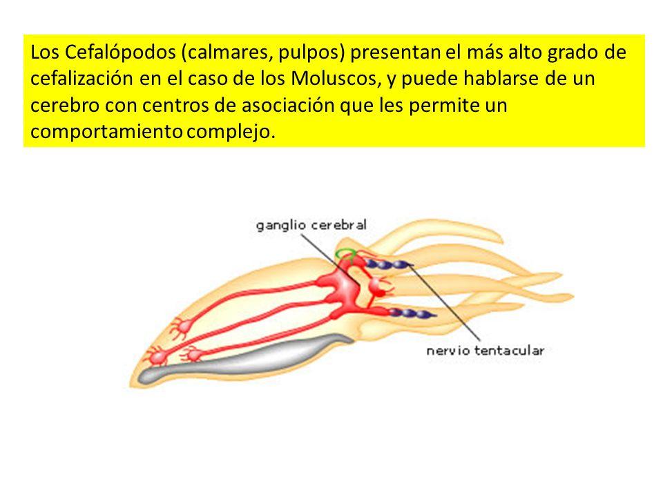 Los Cefalópodos (calmares, pulpos) presentan el más alto grado de cefalización en el caso de los Moluscos, y puede hablarse de un cerebro con centros