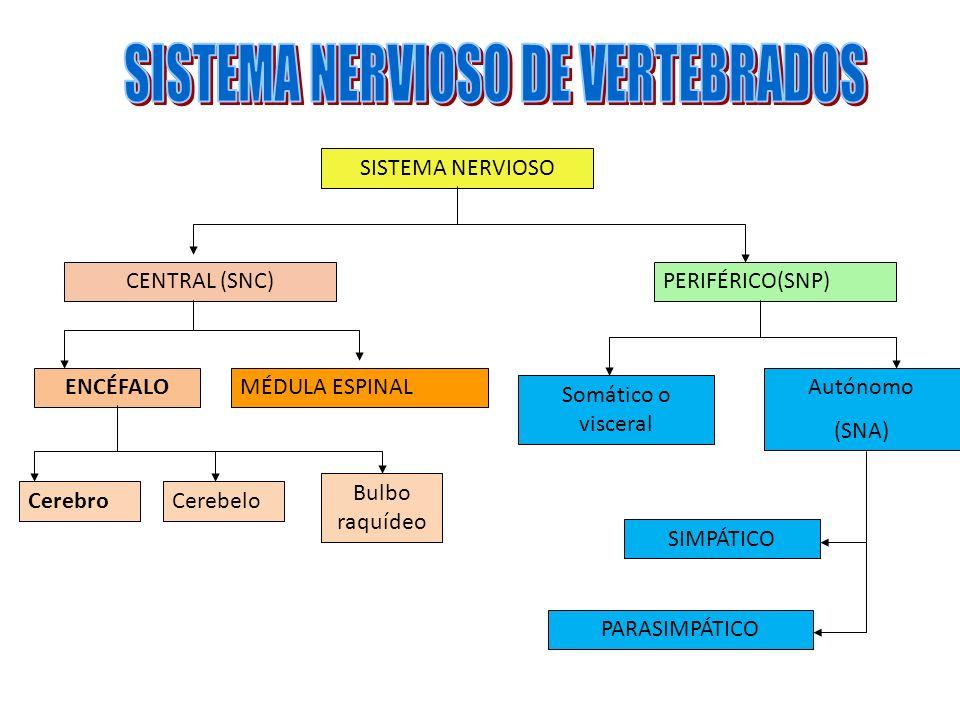 SISTEMA NERVIOSO CENTRAL (SNC)PERIFÉRICO(SNP) ENCÉFALOMÉDULA ESPINAL CerebroCerebelo Bulbo raquídeo Somático o visceral Autónomo (SNA) SIMPÁTICO PARAS