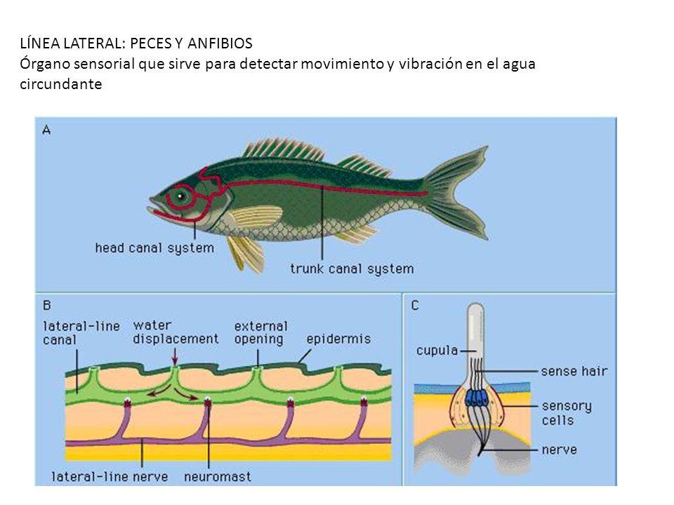 LÍNEA LATERAL: PECES Y ANFIBIOS Órgano sensorial que sirve para detectar movimiento y vibración en el agua circundante