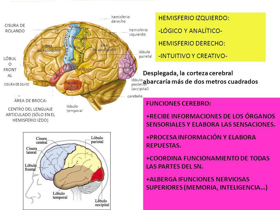 CISURA DE ROLANDO LÓBUL O FRONT AL CISURA DE SILVIO ÁREA DE BROCA: CENTRO DEL LENGUAJE ARTICULADO (SÓLO EN EL HEMISFERIO IZDO) HEMISFERIO IZQUIERDO: -