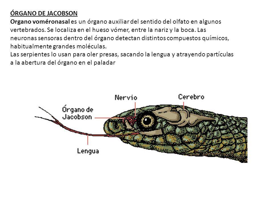 ÓRGANO DE JACOBSON Organo voméronasal es un órgano auxiliar del sentido del olfato en algunos vertebrados. Se localiza en el hueso vómer, entre la nar