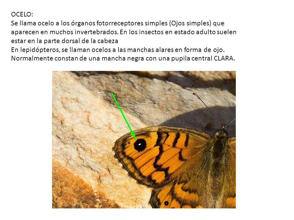 OJO COMPUESTO: Órgano visual que se encuentra en ciertos artrópodos como insectos y crustáceos.