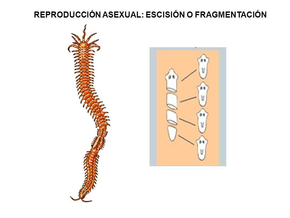 Artropodos caracteristicas reproduccion asexual en
