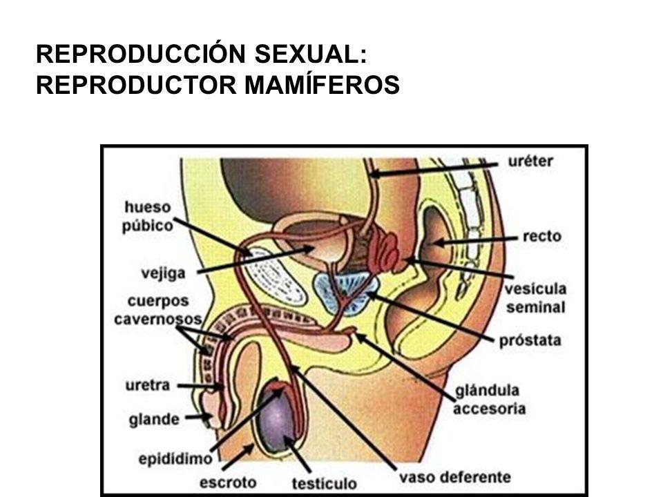 REPRODUCCIÓN SEXUAL: REPRODUCTOR MAMÍFEROS
