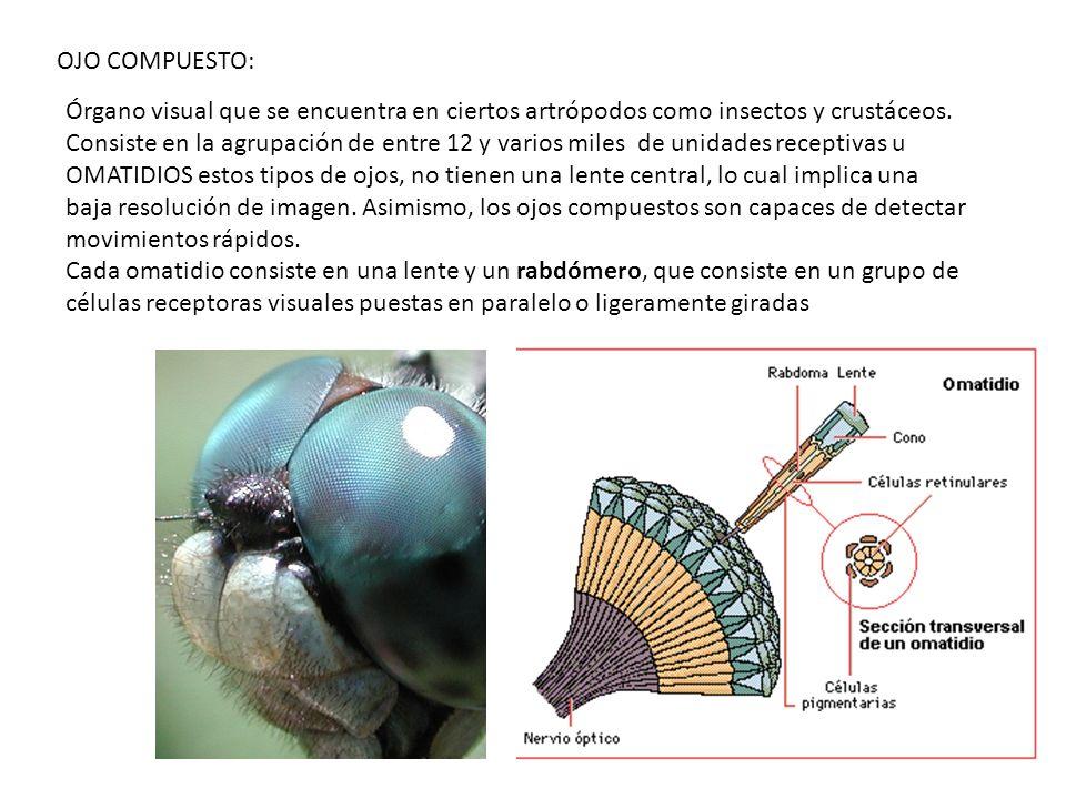 OJO COMPUESTO: Órgano visual que se encuentra en ciertos artrópodos como insectos y crustáceos. Consiste en la agrupación de entre 12 y varios miles d