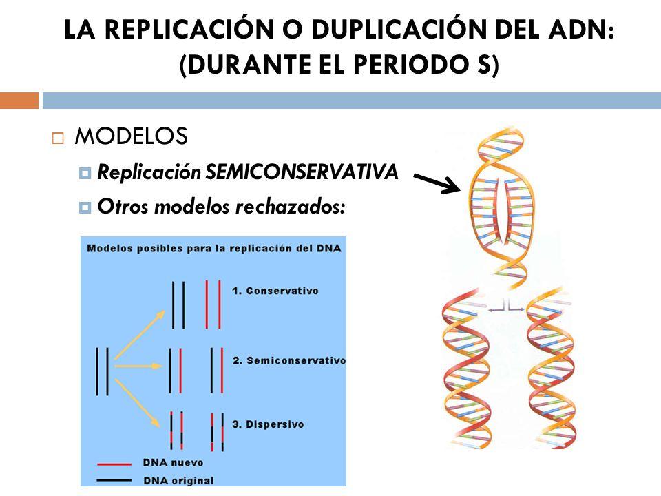 LA REPLICACIÓN O DUPLICACIÓN DEL ADN: (DURANTE EL PERIODO S) MODELOS Replicación SEMICONSERVATIVA Otros modelos rechazados: