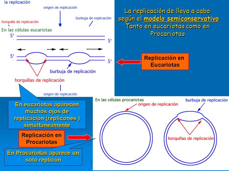 La replicación de lleva a cabo según el modelo semiconservativo Tanto en eucariotas como en Procariotas Replicación en Eucariotas Replicación en Procariotas En eucariotas aparecen muchos ojos de replicación (replicones ) simultaneamente En Procariotas aparece un solo replicón