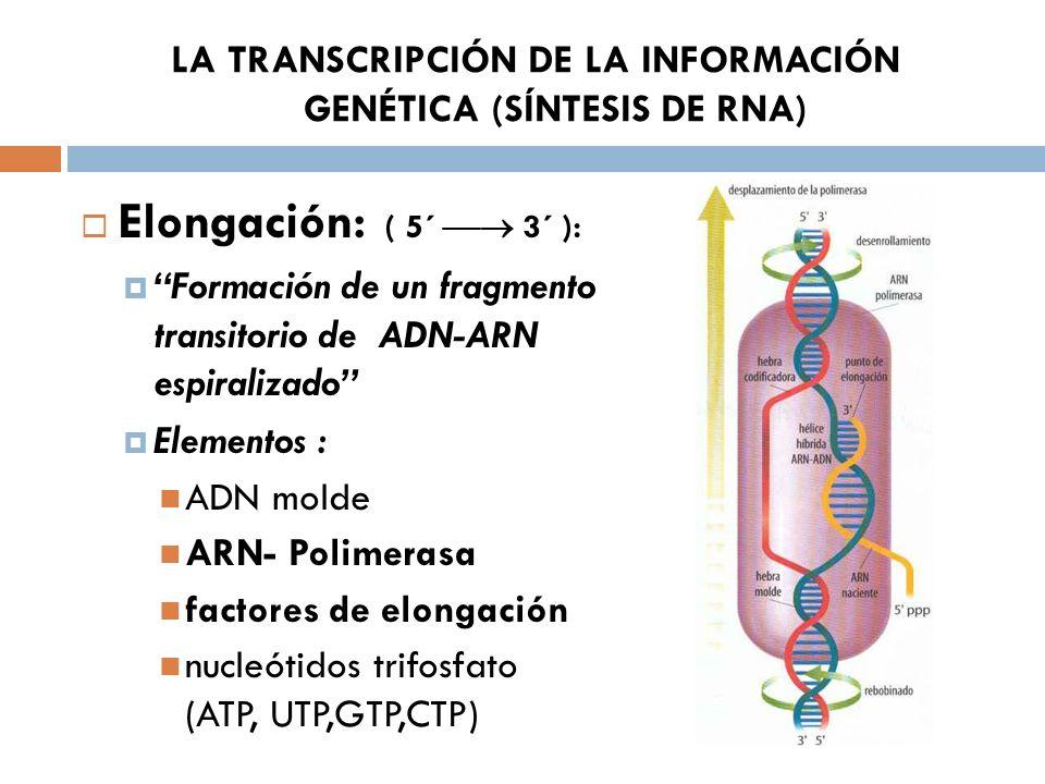 LA TRANSCRIPCIÓN DE LA INFORMACIÓN GENÉTICA (SÍNTESIS DE RNA) Elongación: ( 5´ 3´ ): Formación de un fragmento transitorio de ADN-ARN espiralizado Elementos : ADN molde ARN- Polimerasa factores de elongación nucleótidos trifosfato (ATP, UTP,GTP,CTP)