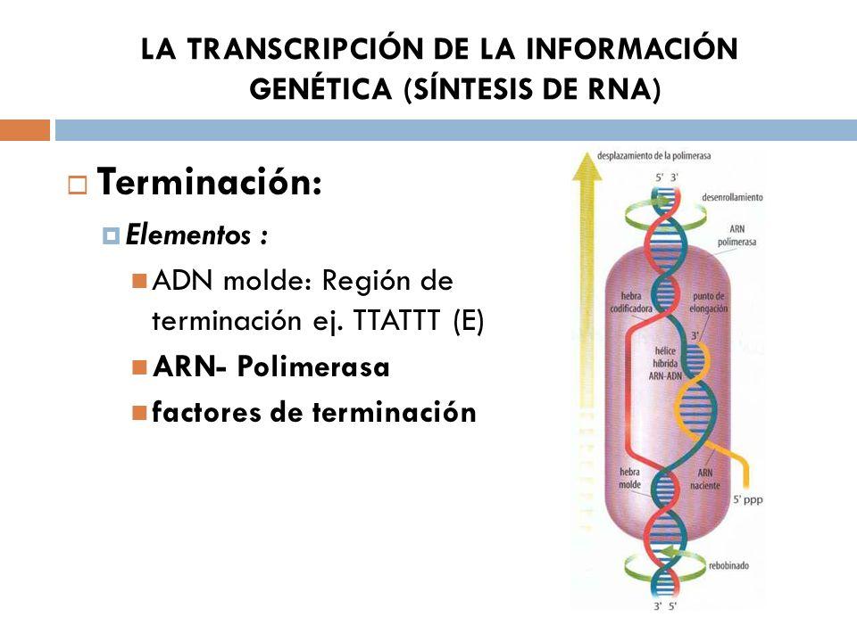 LA TRANSCRIPCIÓN DE LA INFORMACIÓN GENÉTICA (SÍNTESIS DE RNA) Terminación: Elementos : ADN molde: Región de terminación ej. TTATTT (E) ARN- Polimerasa