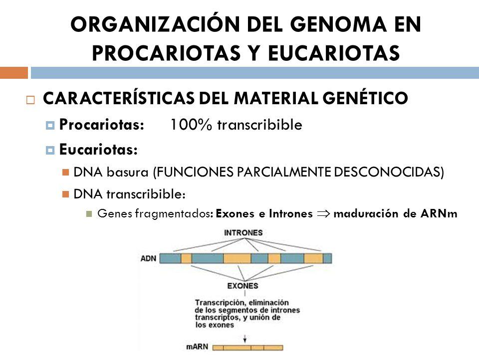 ORGANIZACIÓN DEL GENOMA EN PROCARIOTAS Y EUCARIOTAS CARACTERÍSTICAS DEL MATERIAL GENÉTICO Procariotas: 100% transcribible Eucariotas: DNA basura (FUNCIONES PARCIALMENTE DESCONOCIDAS) DNA transcribible: Genes fragmentados: Exones e Intrones maduración de ARNm