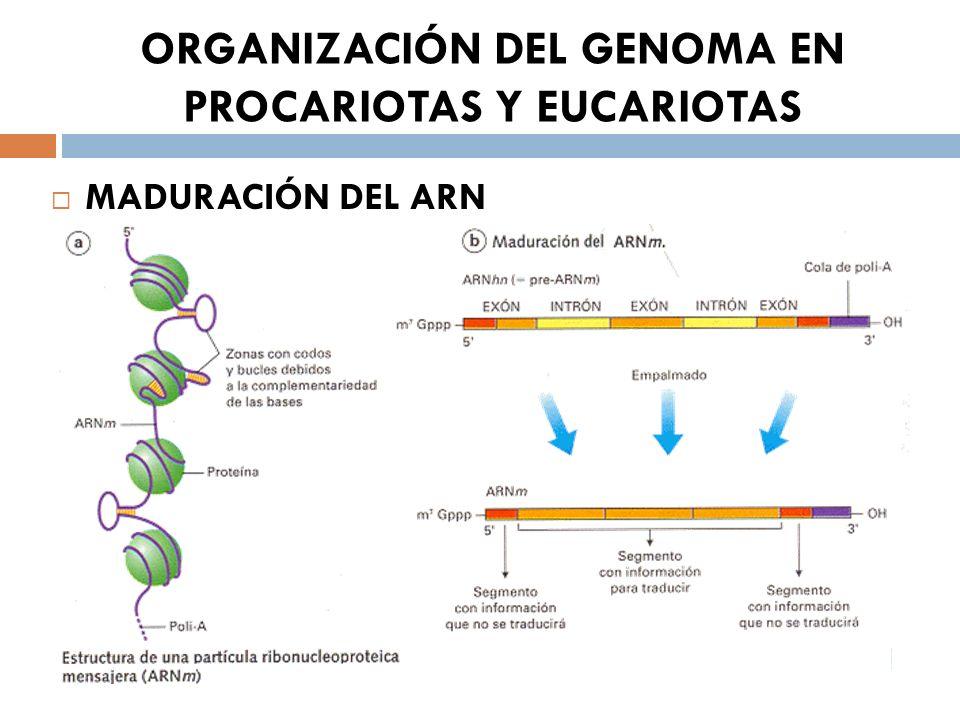 ORGANIZACIÓN DEL GENOMA EN PROCARIOTAS Y EUCARIOTAS MADURACIÓN DEL ARN
