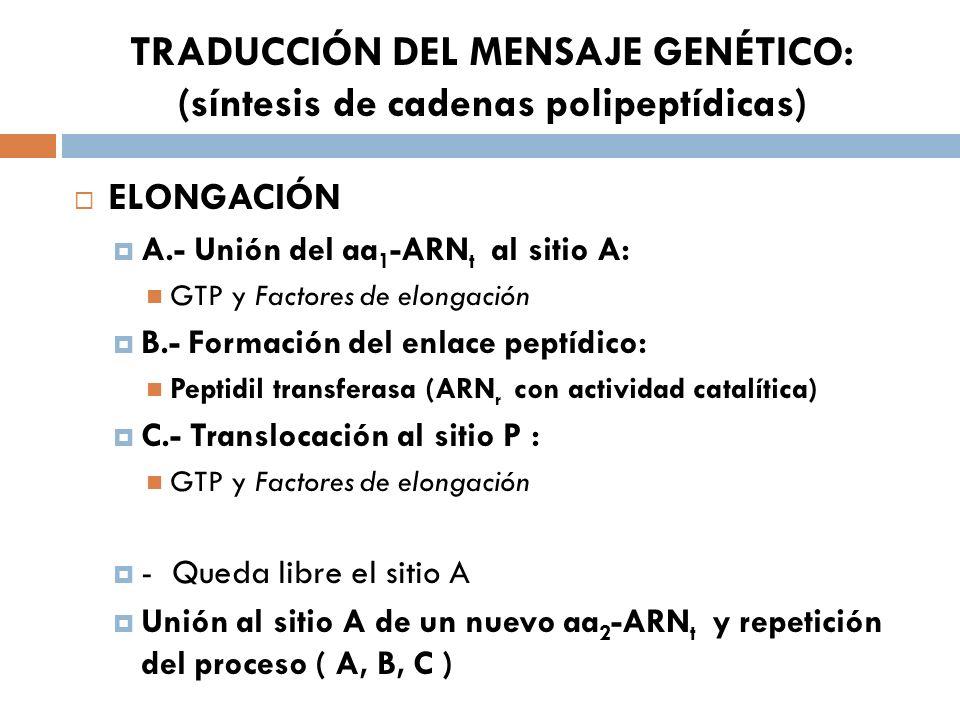 TRADUCCIÓN DEL MENSAJE GENÉTICO: (síntesis de cadenas polipeptídicas) ELONGACIÓN A.- Unión del aa 1 -ARN t al sitio A: GTP y Factores de elongación B.- Formación del enlace peptídico: Peptidil transferasa (ARN r con actividad catalítica) C.- Translocación al sitio P : GTP y Factores de elongación - Queda libre el sitio A Unión al sitio A de un nuevo aa 2 -ARN t y repetición del proceso ( A, B, C )