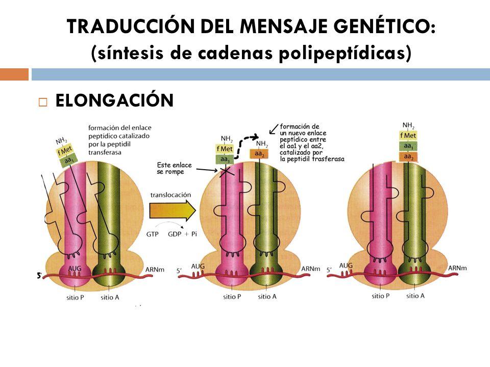 TRADUCCIÓN DEL MENSAJE GENÉTICO: (síntesis de cadenas polipeptídicas) ELONGACIÓN