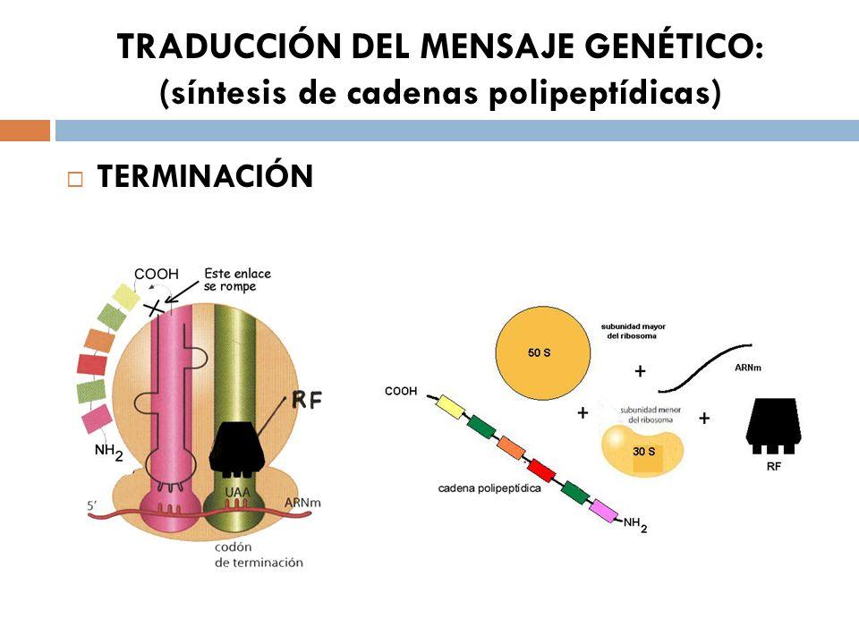 TRADUCCIÓN DEL MENSAJE GENÉTICO: (síntesis de cadenas polipeptídicas) TERMINACIÓN
