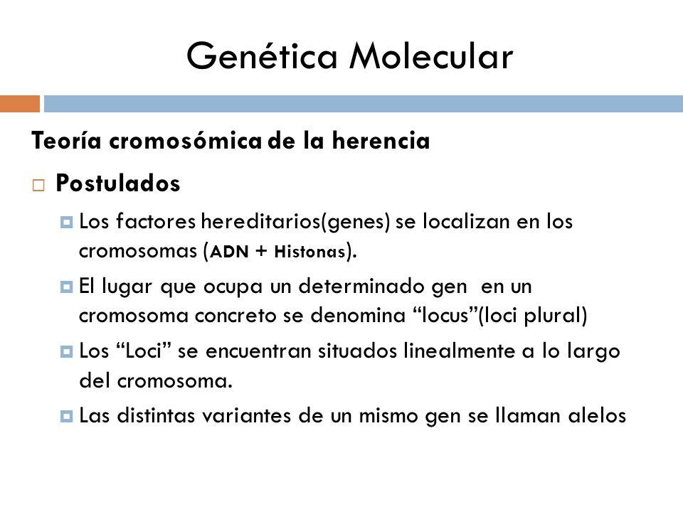 Genética Molecular Teoría cromosómica de la herencia Postulados Los factores hereditarios(genes) se localizan en los cromosomas ( ADN + Histonas ). El