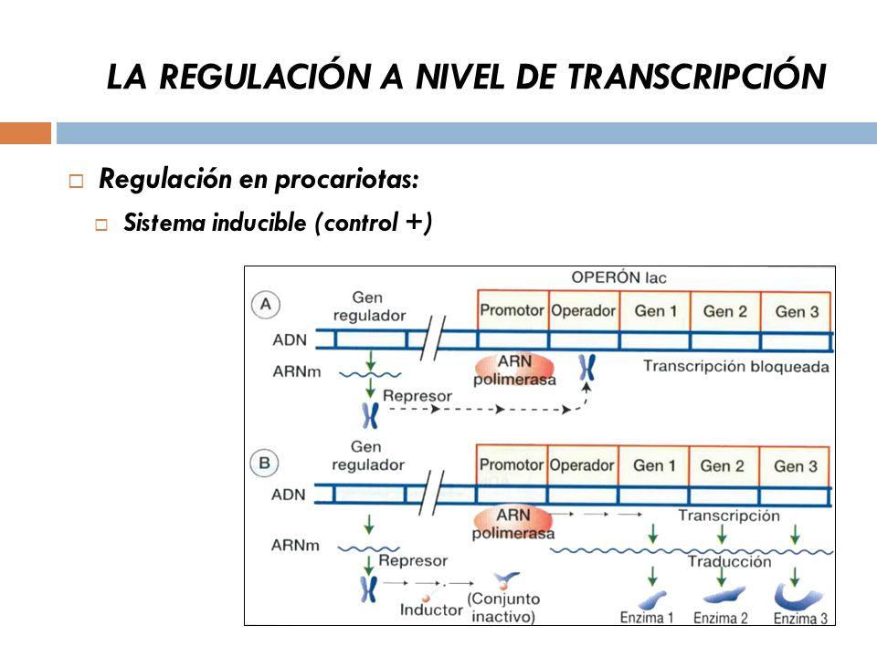 LA REGULACIÓN A NIVEL DE TRANSCRIPCIÓN Regulación en procariotas: Sistema inducible (control +)