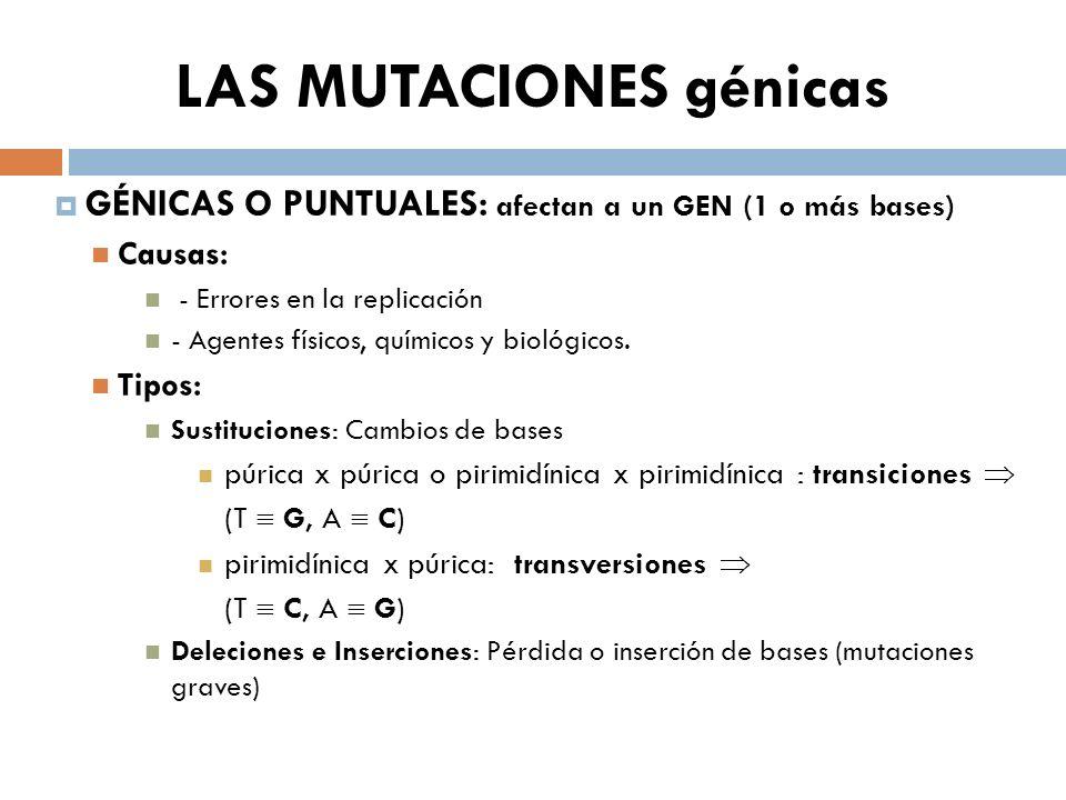 LAS MUTACIONES génicas GÉNICAS O PUNTUALES: afectan a un GEN (1 o más bases) Causas: - Errores en la replicación - Agentes físicos, químicos y biológi