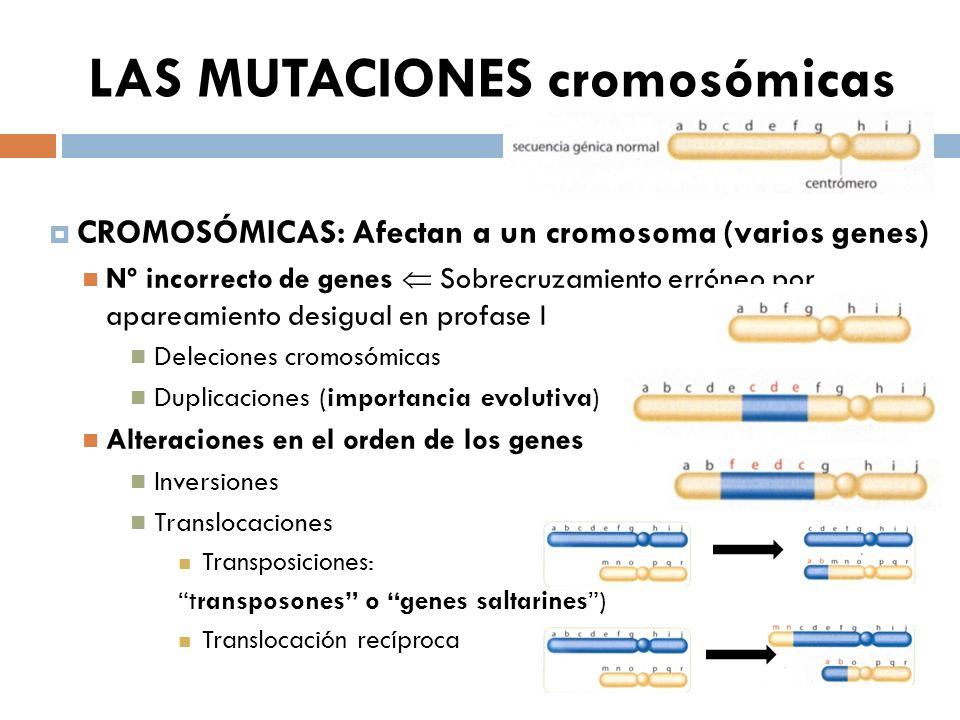 LAS MUTACIONES cromosómicas CROMOSÓMICAS: Afectan a un cromosoma (varios genes) Nº incorrecto de genes Sobrecruzamiento erróneo por apareamiento desigual en profase I Deleciones cromosómicas Duplicaciones (importancia evolutiva) Alteraciones en el orden de los genes Inversiones Translocaciones Transposiciones: transposones o genes saltarines) Translocación recíproca