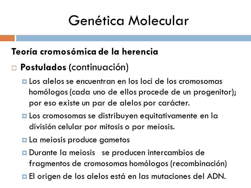 Genética Molecular Teoría cromosómica de la herencia Postulados ( continuación) Los alelos se encuentran en los loci de los cromosomas homólogos (cada uno de ellos procede de un progenitor); por eso existe un par de alelos por carácter.