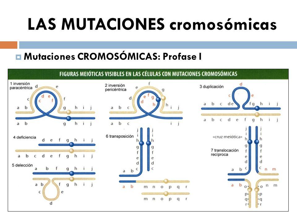 LAS MUTACIONES cromosómicas Mutaciones CROMOSÓMICAS: Profase I