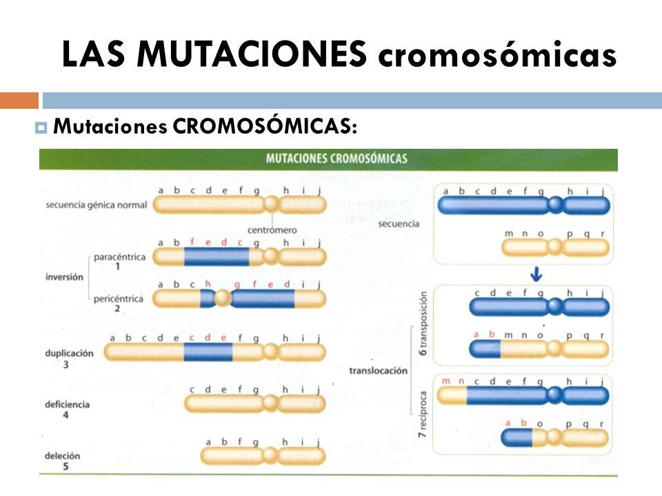 LAS MUTACIONES cromosómicas Mutaciones CROMOSÓMICAS: