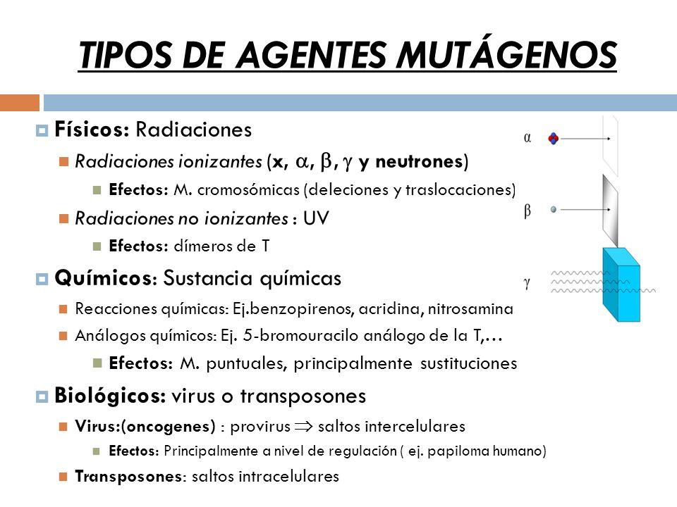 TIPOS DE AGENTES MUTÁGENOS Físicos: Radiaciones Radiaciones ionizantes (x,,, y neutrones) Efectos: M.