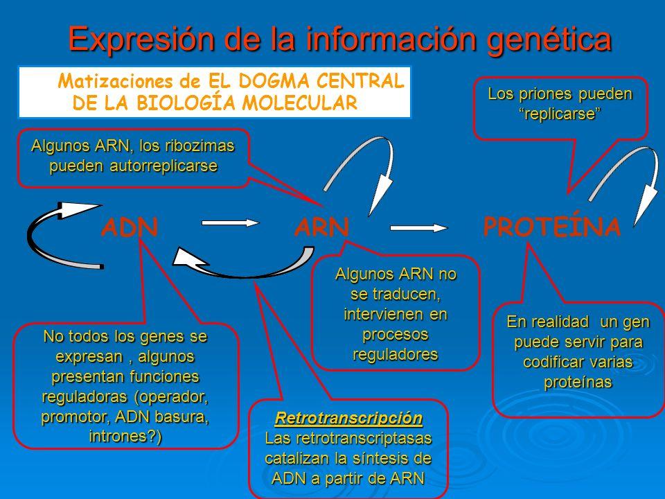 Expresión de la información genética Expresión de la información genética Matizaciones de EL DOGMA CENTRAL DE LA BIOLOGÍA MOLECULAR ADN ARN PROTEÍNA No todos los genes se expresan, algunos presentan funciones reguladoras (operador, promotor, ADN basura, intrones?) Retrotranscripción Las retrotranscriptasas catalizan la síntesis de ADN a partir de ARN En realidad un gen puede servir para codificar varias proteínas Algunos ARN no se traducen, intervienen en procesos reguladores Los priones pueden replicarse Algunos ARN, los ribozimas pueden autorreplicarse