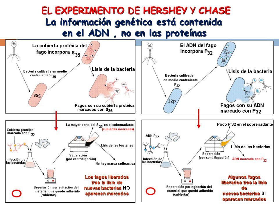EL EXPERIMENTO DE HERSHEY Y CHASE La información genética está contenida en el ADN, no en las proteínas Los fagos liberados tras la lisis de nuevas bacterias NO aparecen marcados Algunos fagos liberados tras la lisis de nuevas bacterias SI aparecen marcados