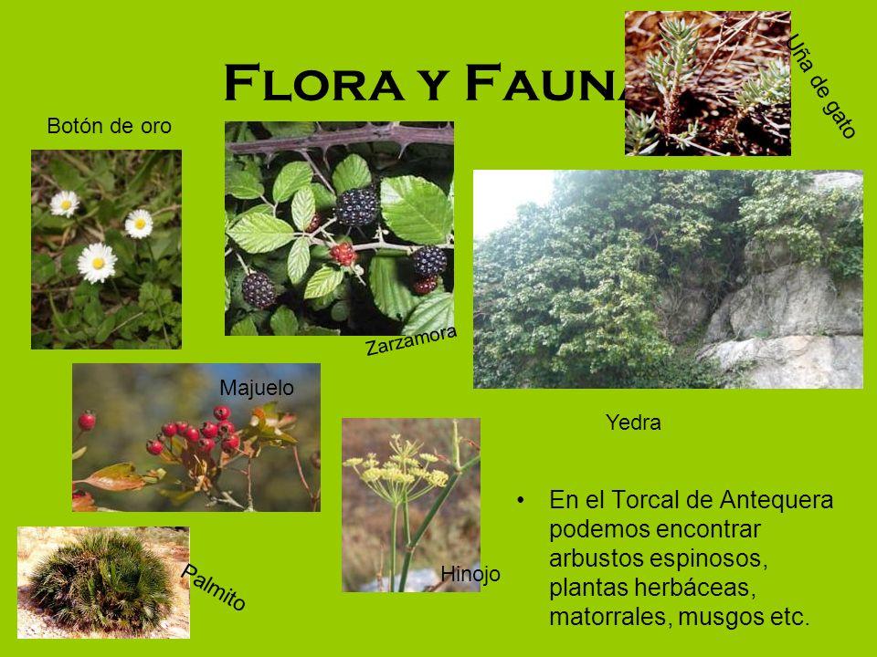 Flora y Fauna En el Torcal de Antequera podemos encontrar arbustos espinosos, plantas herbáceas, matorrales, musgos etc. Hinojo Majuelo Zarzamora Palm