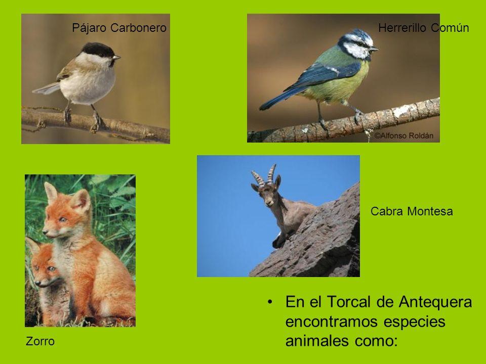 En el Torcal de Antequera encontramos especies animales como: Pájaro CarboneroHerrerillo Común Zorro Cabra Montesa