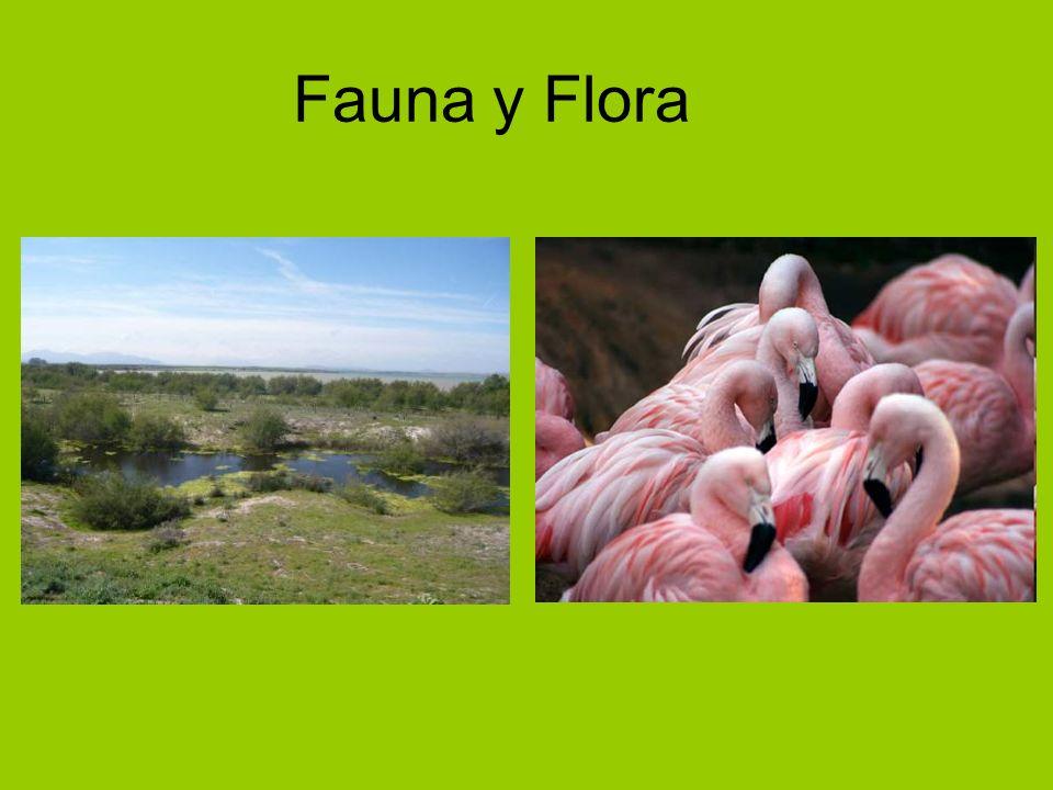 Fauna La especie que más destaca en la Laguna de Fuente de Piedra es la de los flamencos.