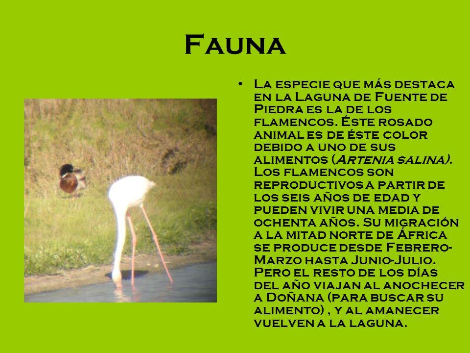Fauna La especie que más destaca en la Laguna de Fuente de Piedra es la de los flamencos. Éste rosado animal es de éste color debido a uno de sus alim