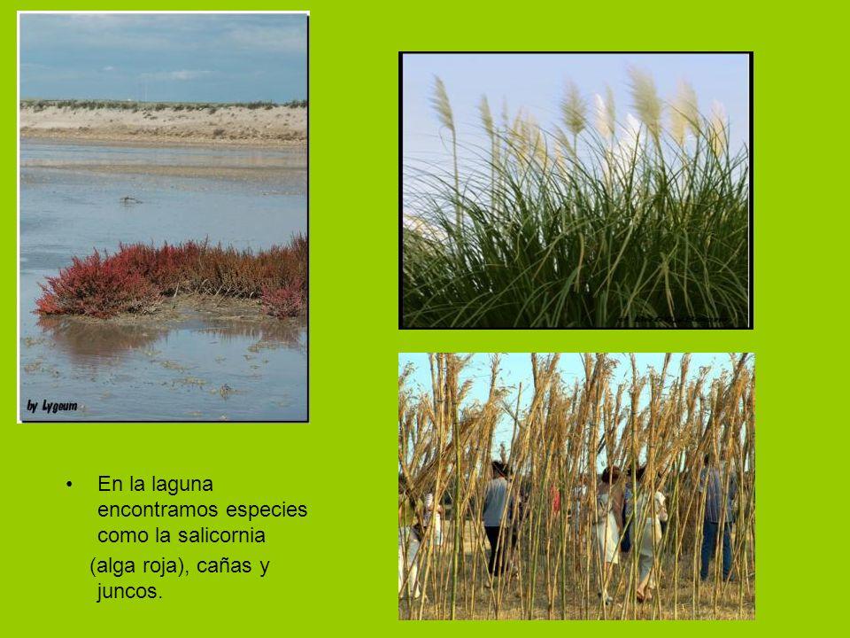 En la laguna encontramos especies como la salicornia (alga roja), cañas y juncos.