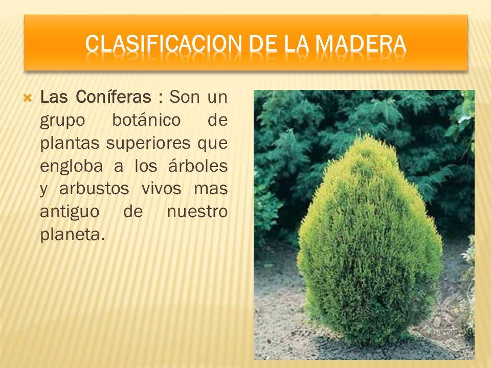 Las Coníferas : Son un grupo botánico de plantas superiores que engloba a los árboles y arbustos vivos mas antiguo de nuestro planeta.