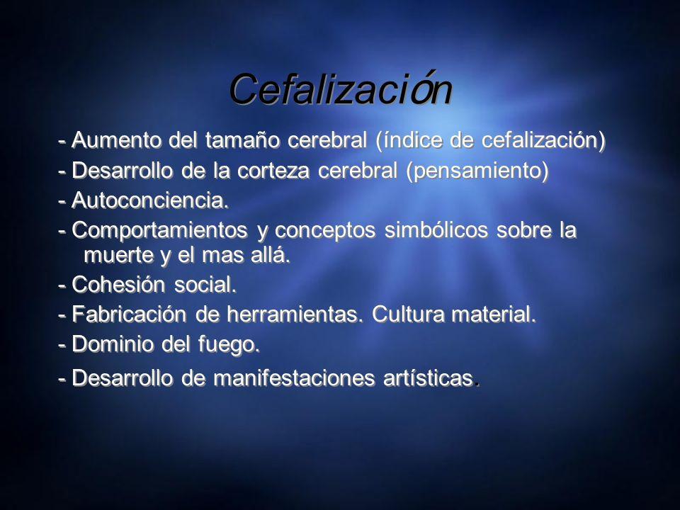 Cefalizaci ó n - Aumento del tamaño cerebral (índice de cefalización) - Desarrollo de la corteza cerebral (pensamiento) - Autoconciencia. - Comportami