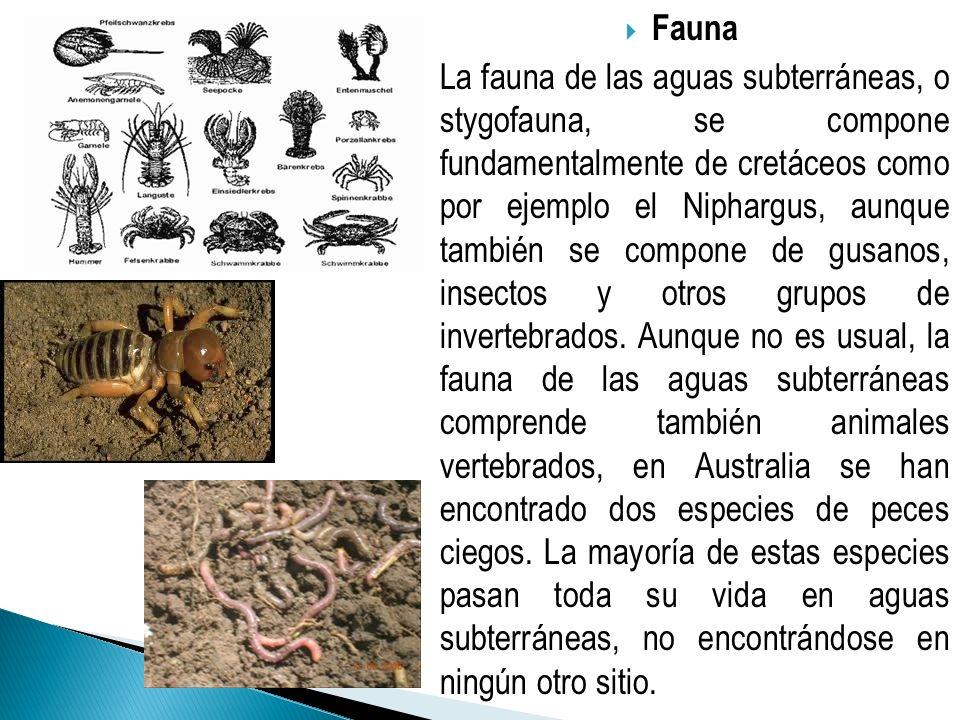 Fauna La fauna de las aguas subterráneas, o stygofauna, se compone fundamentalmente de cretáceos como por ejemplo el Niphargus, aunque también se comp