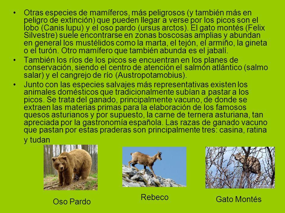 Otras especies de mamíferos, más peligrosos (y también más en peligro de extinción) que pueden llegar a verse por los picos son el lobo (Canis lupu) y el oso pardo (ursus arctos).
