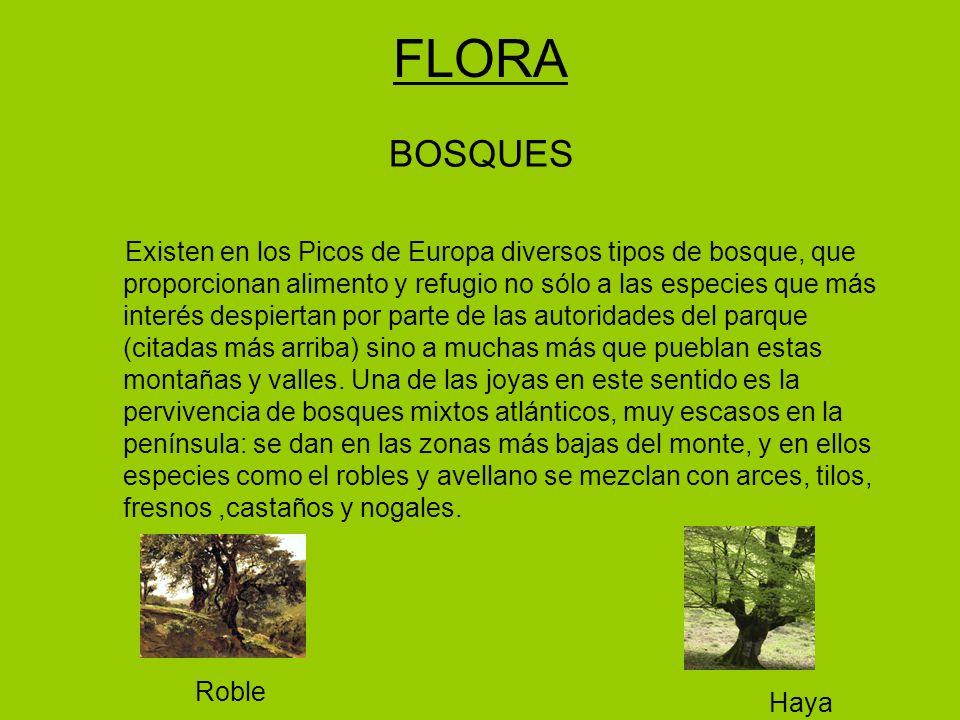 FLORA BOSQUES Existen en los Picos de Europa diversos tipos de bosque, que proporcionan alimento y refugio no sólo a las especies que más interés despiertan por parte de las autoridades del parque (citadas más arriba) sino a muchas más que pueblan estas montañas y valles.