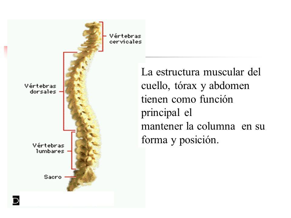 La estructura muscular del cuello, tórax y abdomen tienen como función principal el mantener la columna en su forma y posición.