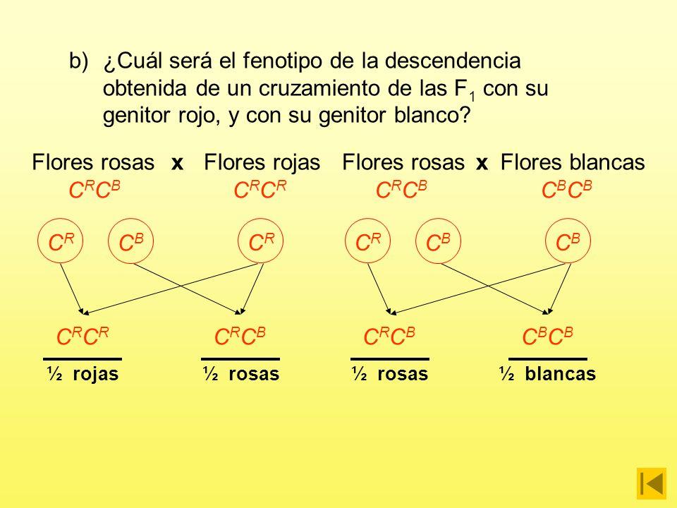 x GAMETOS CRCR CBCB CRCR CBCB C R C B C R C B C R C R C B C B CRCBCRCB CRCBCRCB F1F1 F2F2 ¼ blancas¼ rojas½ rosas Proporciones fenotípicas en la F 2 a)¿Cuál será el fenotipo de las flores de la F 1 y de la F 2 resultante de cruzar entre sí dos plantas cualesquiera de la F 1 ?
