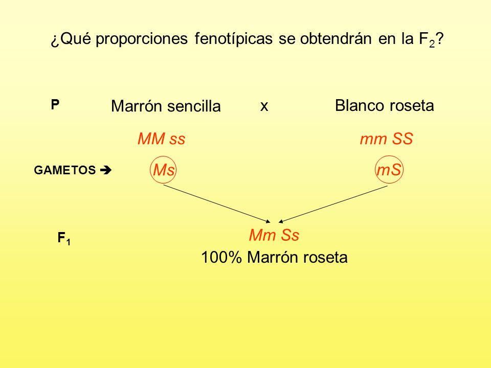 Problema 5 Un granjero ha cruzado dos líneas puras de gallinas, unas de plumaje marrón (M) y cresta sencilla (s) y otras de plumaje blanco (m) y cresta en roseta (S).