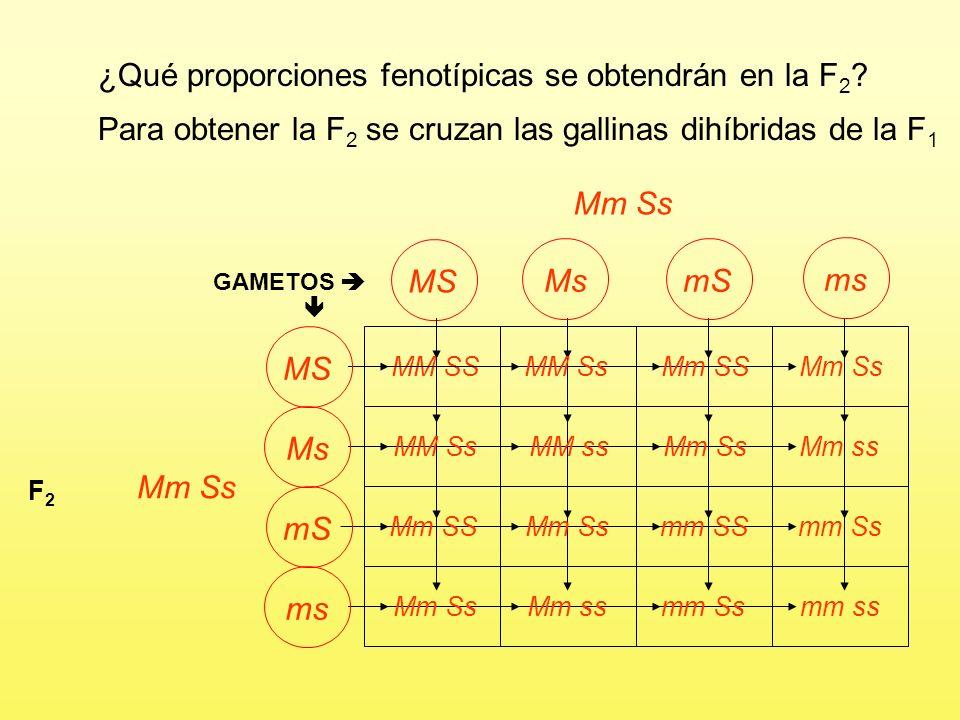 ¿Qué proporciones fenotípicas se obtendrán en la F 2 ? Marrón sencilla xBlanco roseta P MM ssmm SS GAMETOS Ms F1F1 Mm Ss 100% Marrón roseta mS