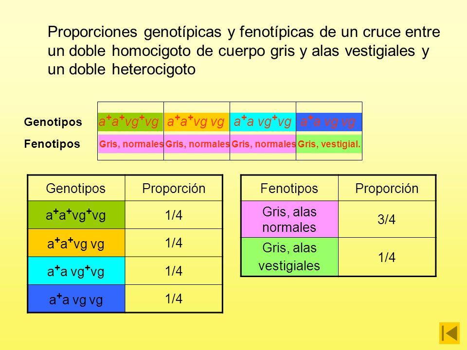 Proporciones genotípicas y fenotípicas de un cruce entre un doble homocigoto de cuerpo gris y alas vestigiales y un doble heterocigoto Gris, alas vestigiales x Gris, alas normales P a + a + vg vg a + a vg + vg Gris, alas normales GAMETOS a + a + vg + vga + a + vg vga + a vg + vga + a vg vg Gris, alas vestigiales a + a + vg vg a + a vg + vg a+vg+ a vga vg+a+vg Gris, normales Gris, vestigial.
