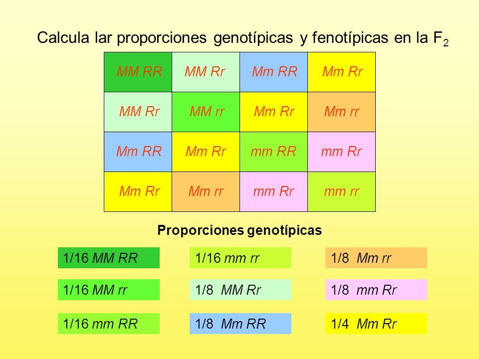 Proporciones genotípicas 1/16 MM RR MM RR MM Rr Mm RR Mm Rr MM Rr MM rr Mm Rr Mm rr Mm RR Mm Rr mm RR mm Rr Mm Rr Mm rr mm Rr mm rr Calcula lar proporciones genotípicas y fenotípicas en la F 2 1/16 MM rr 1/16 mm RR 1/16 mm rr 2/16 MM Rr 2/16 Mm RR 2/16 Mm rr 2/16 mm Rr 4/16 Mm Rr